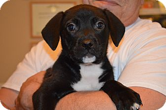 Labrador Retriever Mix Puppy for adoption in Marshfield, Massachusetts - Penny-pending adoption