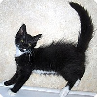 Adopt A Pet :: Pirate - Richmond, VA