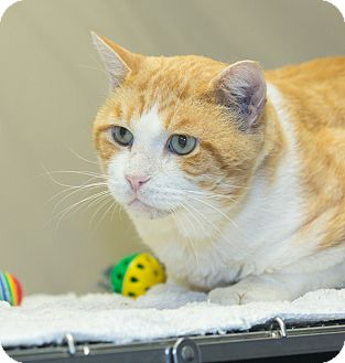 Domestic Shorthair Cat for adoption in Elmwood Park, New Jersey - Marley