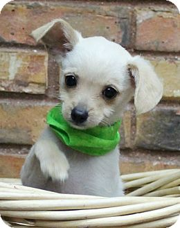 Chihuahua/Poodle (Miniature) Mix Puppy for adoption in Benbrook, Texas - Melo