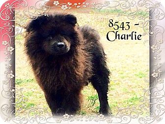 Chow Chow Dog for adoption in Dillon, South Carolina - Charlie