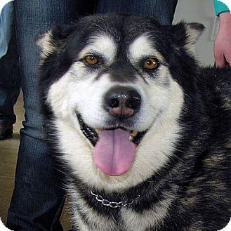 Alaskan Malamute Dog for adoption in Boise, Idaho - DENALI