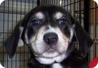 Labrador Retriever/Shepherd (Unknown Type) Mix Puppy for adoption in Newburgh, Indiana - dara