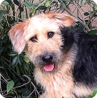 Terrier (Unknown Type, Medium) Mix Puppy for adoption in Corona, California - LEYLA