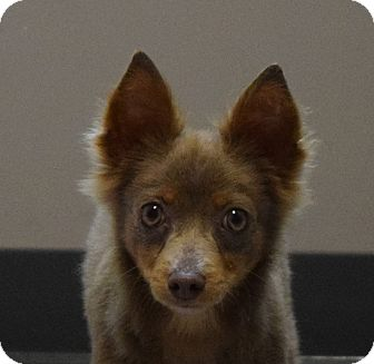 Chihuahua Mix Dog for adoption in Friendswood, Texas - Yoda
