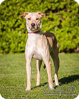 Labrador Retriever Mix Dog for adoption in Owensboro, Kentucky - Nancy - DRD program