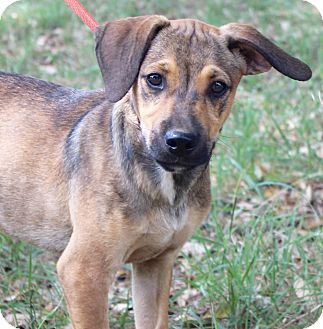 Beagle/Terrier (Unknown Type, Medium) Mix Puppy for adoption in Madison, Wisconsin - OSCAR