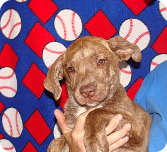 Plott Hound/Labrador Retriever Mix Puppy for adoption in Oviedo, Florida - Vaca