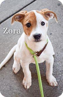 Pointer/Labrador Retriever Mix Puppy for adoption in DFW, Texas - Zora