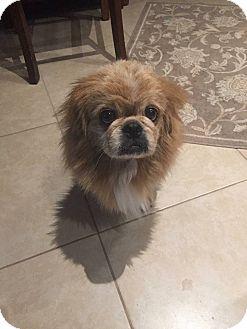 Pekingese Dog for adoption in Deltona, Florida - Leo