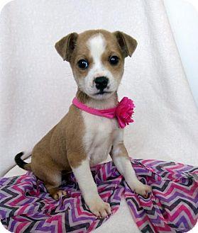 Boxer/Labrador Retriever Mix Puppy for adoption in Newark, Delaware - Kaylee