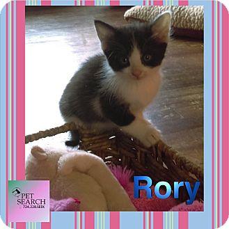 Domestic Shorthair Kitten for adoption in Washington, Pennsylvania - Kittens