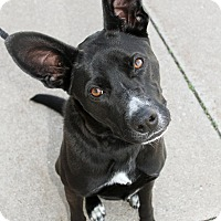Adopt A Pet :: Lily - Joliet, IL