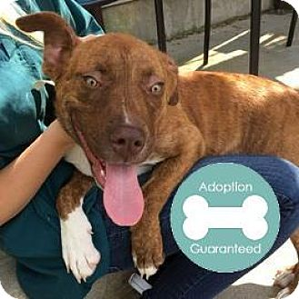 American Pit Bull Terrier Mix Puppy for adoption in Janesville, Wisconsin - Mocha