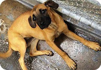 English Mastiff/Labrador Retriever Mix Puppy for adoption in Oswego, Illinois - I'M ADOPTED Mustang Sally