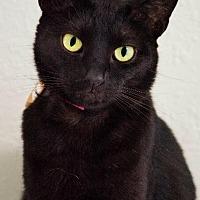 Domestic Shorthair Cat for adoption in Hot Springs, Arkansas - Salvia