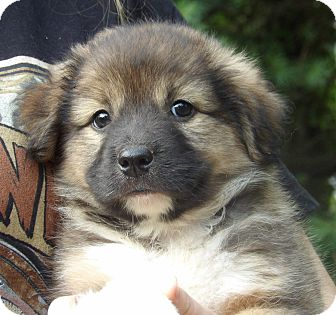 Spitz (Unknown Type, Medium)/Terrier (Unknown Type, Small) Mix Puppy for adoption in Twinsburg, Ohio - Gemini (5 lb) Video