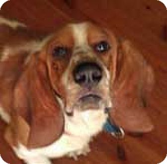 Basset Hound Dog for adoption in Charleston, South Carolina - Briggs
