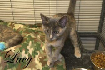 Domestic Shorthair/Domestic Shorthair Mix Cat for adoption in Middleburg, Florida - Lucy (Mutt)