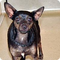 Chihuahua Mix Dog for adoption in Wildomar, California - Blackie