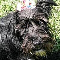 Adopt A Pet :: Brook - Oswego, IL