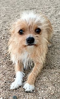 Brussels Griffon/Norwich Terrier Mix Dog for adoption in Portland, Oregon - Tigger