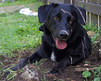 Labrador Retriever/Flat-Coated Retriever Mix Dog for adoption in Sparta, New Jersey - Justice