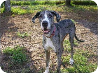 Great Dane Dog for adoption in Green Cove Springs, Florida - Bane