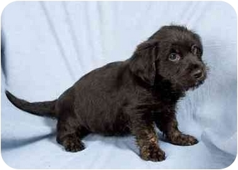 Lhasa Apso Mix Puppy for adoption in Anna, Illinois - ALEX
