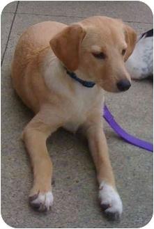 Labrador Retriever Mix Puppy for adoption in Loudonville, New York - Sunshine