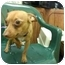 Photo 2 - Chihuahua Mix Dog for adoption in Youngwood, Pennsylvania - Brutus