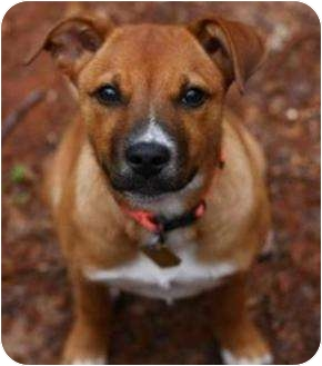 Shepherd (Unknown Type)/Australian Cattle Dog Mix Puppy for adoption in Auburn, California - Chloe