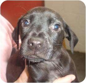 Labrador Retriever/Border Collie Mix Puppy for adoption in Old Bridge, New Jersey - Byte