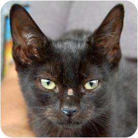 Domestic Shorthair Kitten for adoption in Brooklyn, New York - Destiny