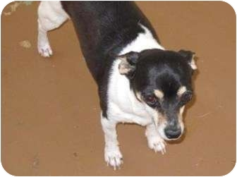Chihuahua/Jack Russell Terrier Mix Dog for adoption in Salem, New Hampshire - Picolina