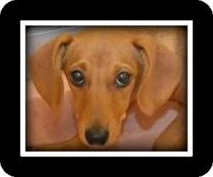 Dachshund Mix Puppy for adoption in Indian Trail, North Carolina - Janie
