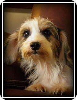 Schnauzer (Miniature)/Dachshund Mix Dog for adoption in Indian Trail, North Carolina - Stella