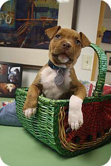 Pit Bull Terrier/American Bulldog Mix Puppy for adoption in Huntsville, Alabama - Sadie