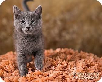 Domestic Shorthair Kitten for adoption in Eagan, Minnesota - Rose