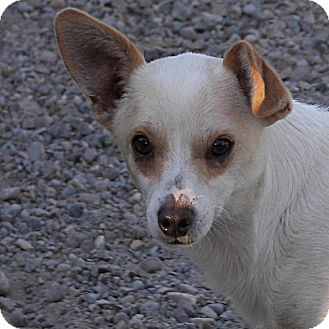 Chihuahua Mix Dog for adoption in polson, Montana - Bean