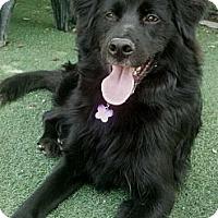 Adopt A Pet :: Bear - Encinitas, CA
