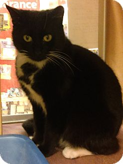 Domestic Shorthair Cat for adoption in Kirby, Texas - Eclipse