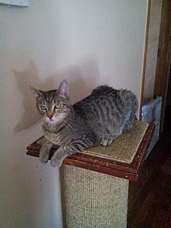 Domestic Shorthair Cat for adoption in Centerton, Arkansas - Bunny