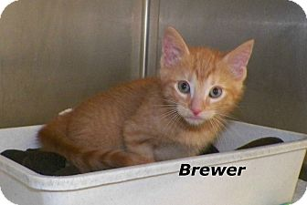 Domestic Shorthair Kitten for adoption in Dover, Ohio - Brewer
