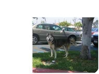 Siberian Husky Dog for adoption in Southern California, California - Harbor