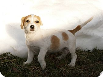 Dachshund/Terrier (Unknown Type, Small) Mix Puppy for adoption in Pennigton, New Jersey - Sanka