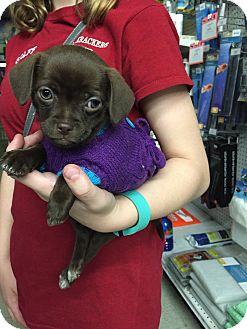 Chihuahua/Pekingese Mix Puppy for adoption in Oak Lawn, Illinois - Daisy