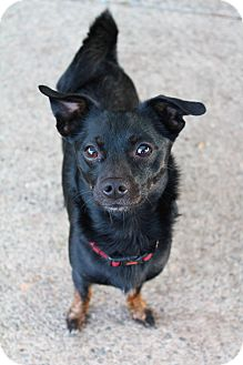 Xoloitzcuintle/Mexican Hairless Mix Dog for adoption in Grants Pass, Oregon - Buster