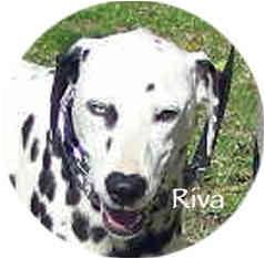 Dalmatian Dog for adoption in Mandeville Canyon, California - Riva