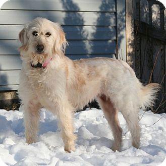 Labrador Retriever/Poodle (Miniature) Mix Dog for adoption in Libertyville, Illinois - Jenna